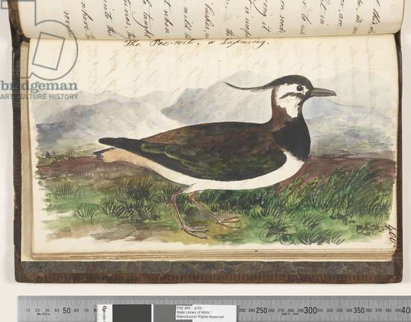 Page 400. The Pee, wit, or Lapwing, 1810-17 (w/c & manuscript text)