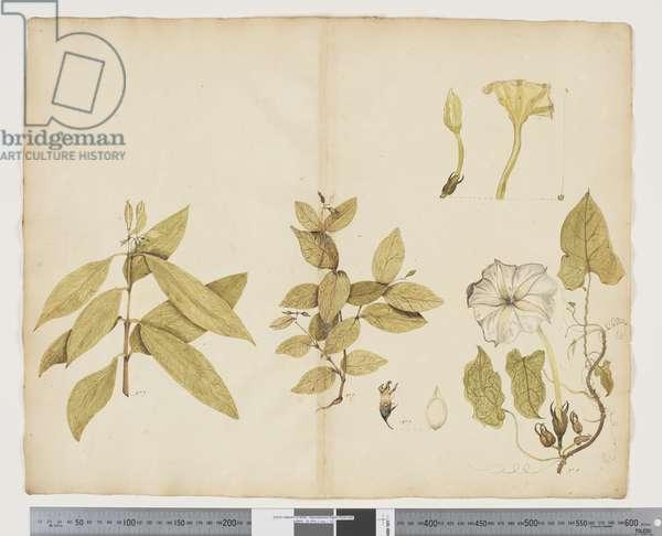 F.6 Wickstroemia Australis; Ipomea, c.1790-95 (w/c & ink on paper)