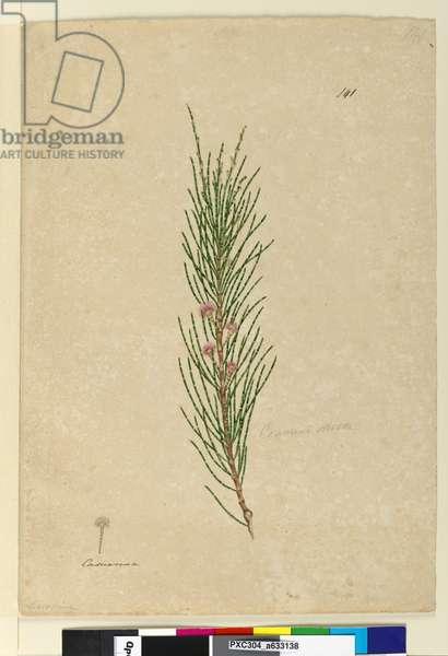 Page 141. Casuarina stricta/Allocasuarina verticillata, c.1803-06 (w/c, pen, ink and pencil)
