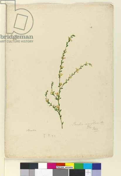 Page 4. Pimelea curviflora, c.1803-06 (w/c, pen, ink and pencil)