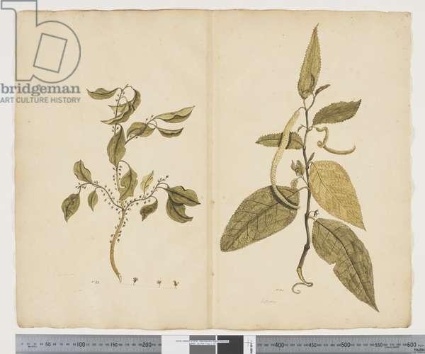 F.16 Hymenanthera latifolia; Streblus pendulinus, c.1790-95 (w/c & ink on paper)