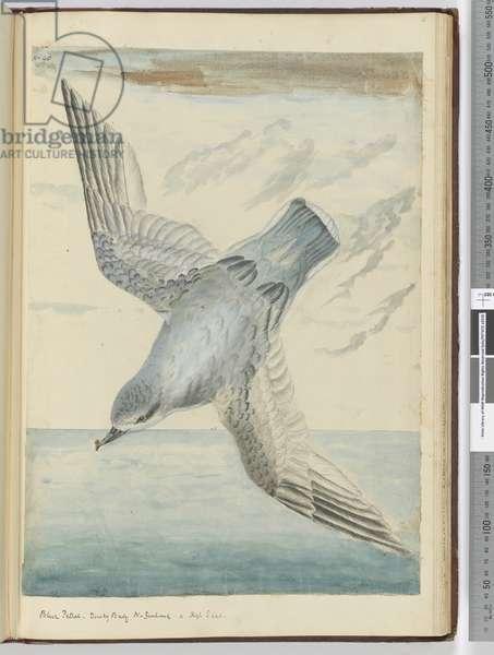 F.40 Blue petrel. Dusky Bay New Zealand. In high S. lat., 1772-75 (w/c)