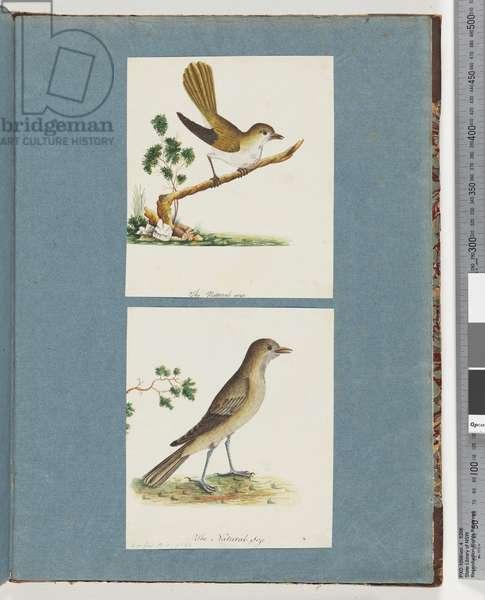 Page 142. Unidentified Bird. 143. Unidentified Bird (w/c on paper)