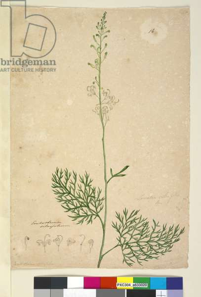 Page 16. Lomatia silaifolia, c.1803-06 (w/c, pen, ink and pencil)