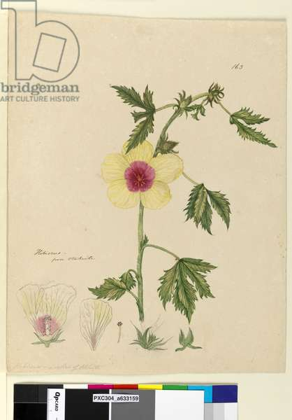 Page 163. Hibiscus, c.1803-06 (w/c, pen, ink and pencil)