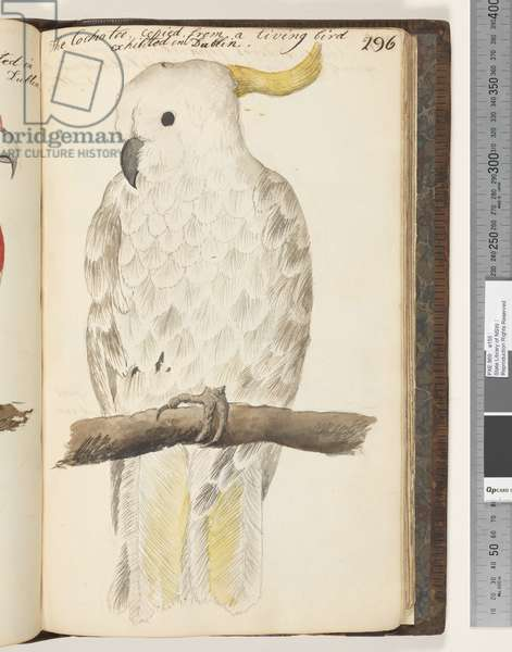 Page 296. The Cockatoo, copied from a living bird exhibited in Dublin, 1810-17 (w/c & manuscript text)