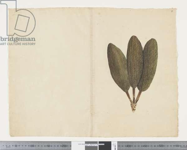 F.37 Freycinetia baueriana, c.1790-95 (w/c & ink on paper)