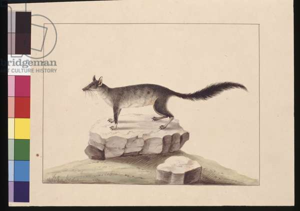 Page 10. Tapoa Tafa. Now known as a Brush-tailed Phascogale, c.1789-90 (w/c)