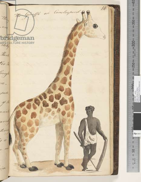 Page 116. The Giraffe or Cameleopard, 1810-17 (w/c & manuscript text)