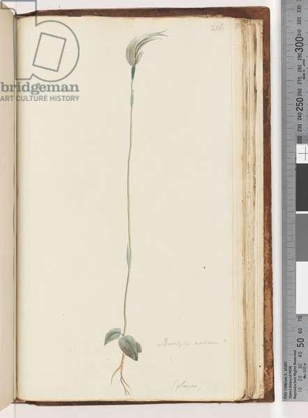 Page 216. Pterostylis nutans? / (glauca) (w/c)