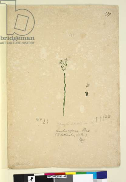 Page 199. Samolus repens, c.1803-06 (w/c, pen, ink and pencil)