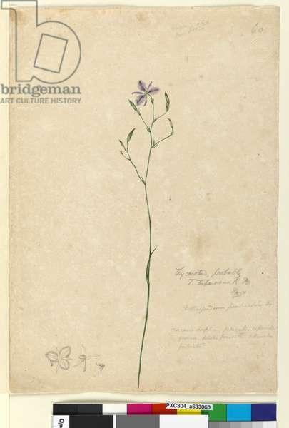 Page 60. Thysanotus tuberosus, c.1803-06 (w/c, pen, ink and pencil)