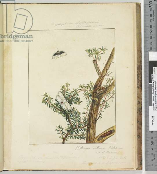 Page 11. Plate 3 Cryptophasa Septosfermi Pultenae Lewin, 1803-04 (hand-coloured etching)