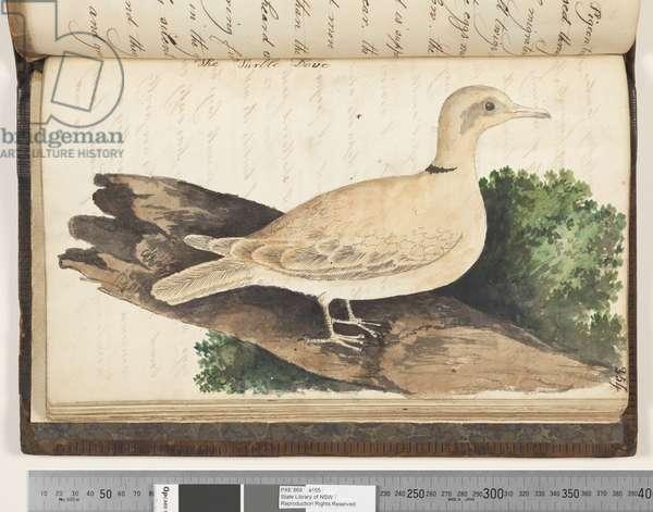 Page 354. The Turtle Dove, 1810-17 (w/c & manuscript text)