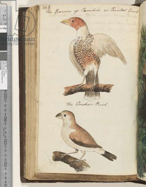Page 363. The Sparrow of Paradise, or Painted Sparrow; the Quaker Bird, 1810-17 (w/c & manuscript text)