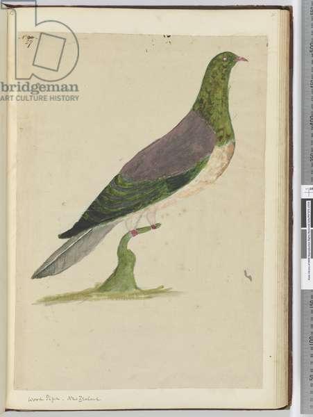 F.27 Wood pigeon. New Zealand, 1772-75 (w/c)