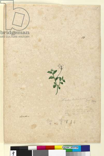 Page 131. Lobelia purpurascens, c.1803-06 (w/c, pen, ink and pencil)