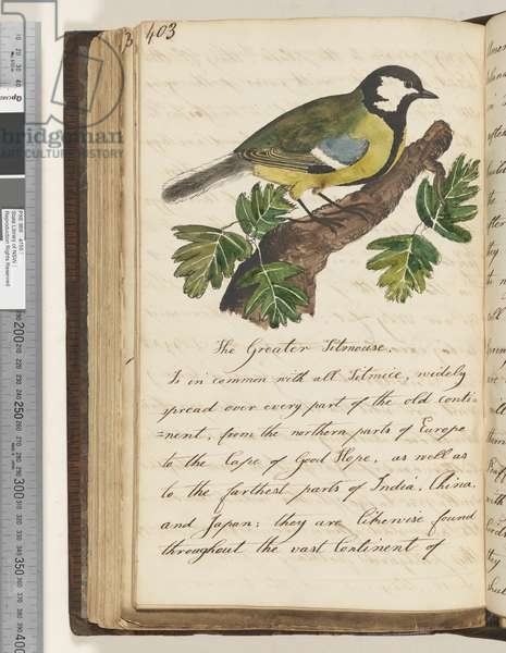 Page 403. The Greater Titmouse, 1810-17 (w/c & manuscript text)