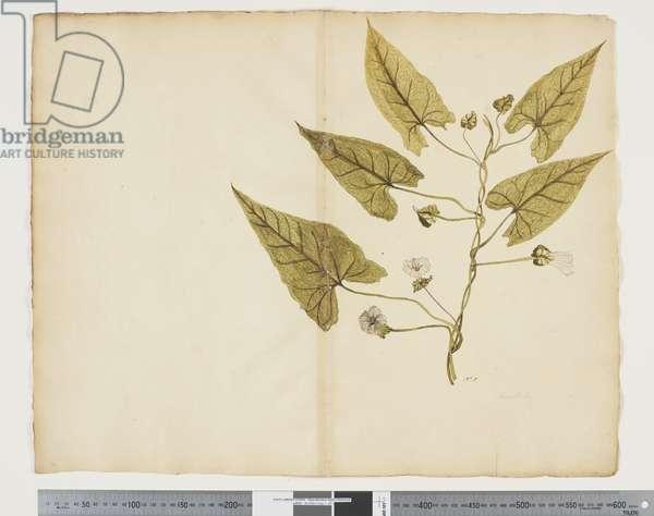 F.7 Calystegia affinis, c.1790-95 (w/c & ink on paper)