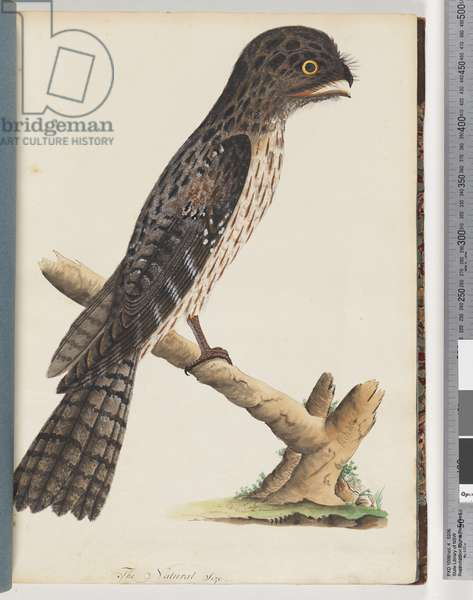 Page 33. Tawny Frogmouth. Gracile Goatsucker (Watling 297/222) (w/c on paper)