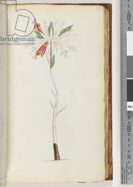 Page 77. No inscription, unfinished drawing (w/c)