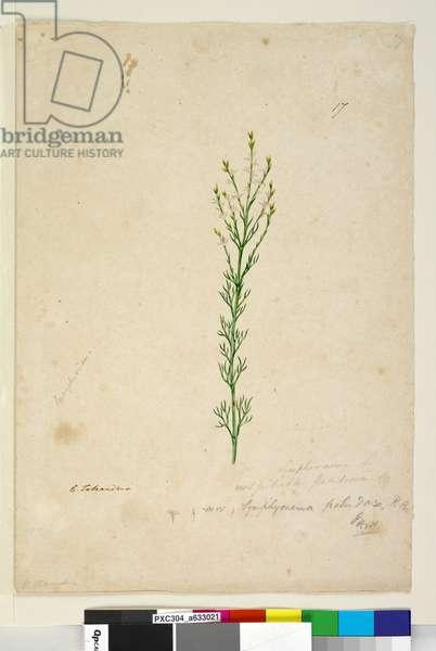 Page 17. Symphionema paludosum, c.1803-06 (w/c, pen, ink and pencil)