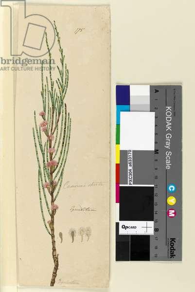Page 175. Casuarina stricta/Allocasuarina verticillata, c.1803-06 (w/c, pen, ink and pencil)