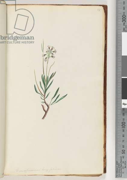 Page 18. Conospermum longifolium Long, leaf Coneseeds (w/c)