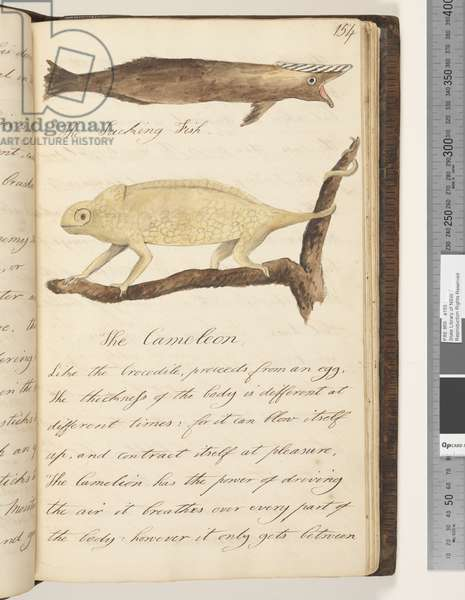 Page 154. The Sucking Fish; the Cameleon, 1810-17 (w/c & manuscript text)