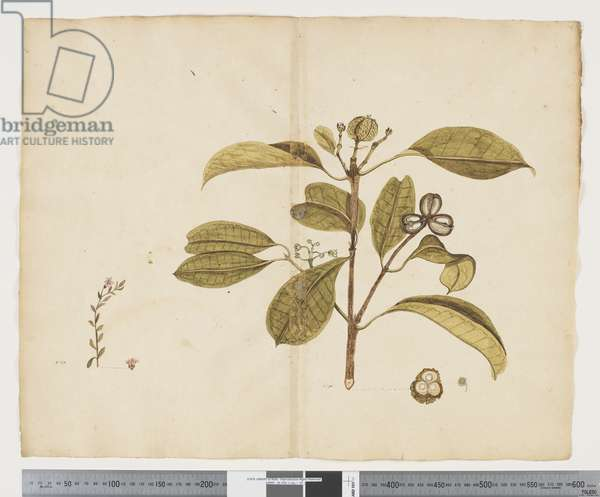F.19 Samolus repens; Baloghia lucida, c.1790-95 (ink & w/c on paper)