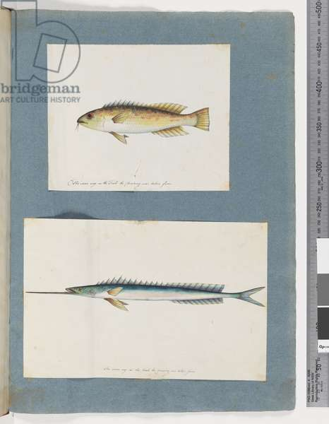 Page 1. Unidentified fish. 2. Unidentified fish (w/c on paper)