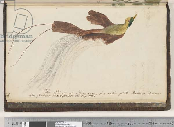 Page 24. The Bird of Paradise is a native of the Molucca Islands, 1810-17 (w/c & manuscript text)
