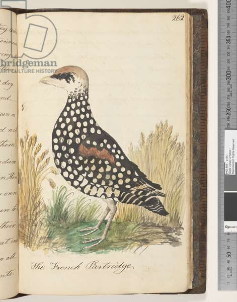 Page 262. The French Partridge, 1810-17 (w/c & manuscript text)
