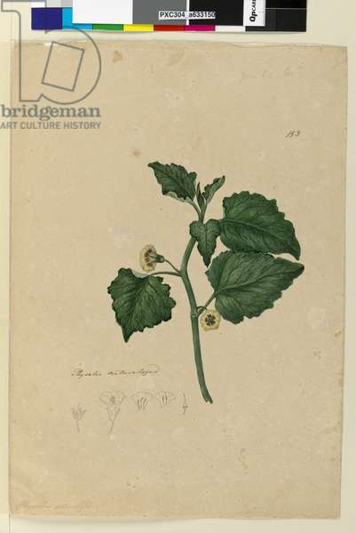 Page 153. Physalis naturalized, c.1803-06 (w/c, pen, ink and pencil)