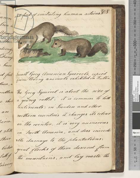 Page 308. Small Grey American squirrels, copied from living animals exhibited in Dublin, 1810-17 (w/c & manuscript text)