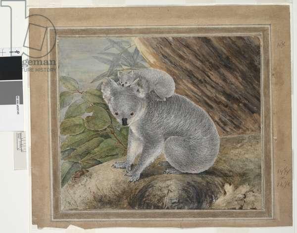 Koala and young, 1803, (w/c & gouache)