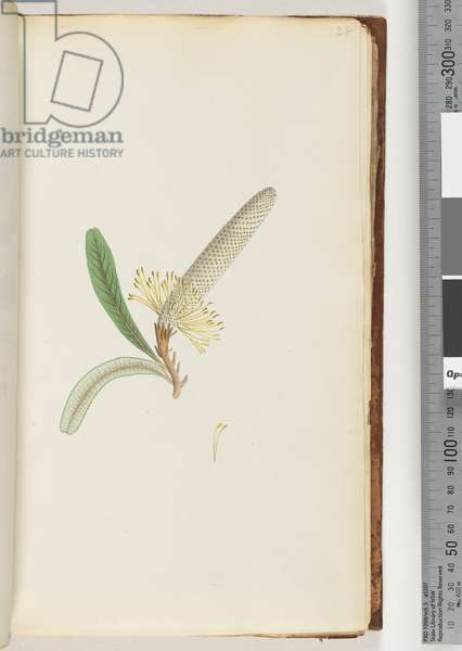 """Page 28. Flowering plant, """"a Creeper"""" (Watling 442/377) (w/c)"""