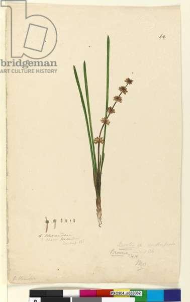 Page 62. Xerotes Lomandra multiflora, c.1803-06 (w/c, pen, ink and pencil)