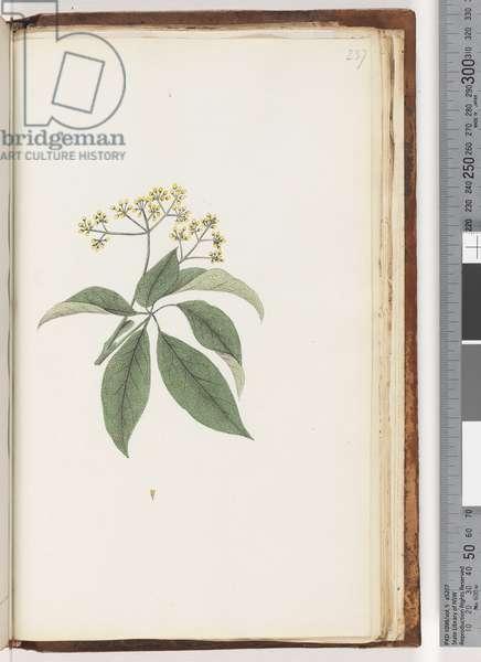 Page 237. Unidentified plant (w/c)