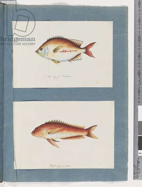 Page 3. Unidentified fish 4. Unidentified fish (w/c on paper)