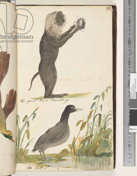 Page 25. The Great Lion Monkey; the Coote, 1810-17 (w/c & manuscript text)