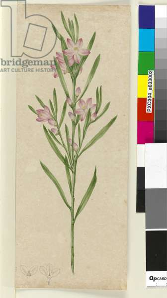 Unidentified plant, c.1803-06 (w/c, pen, ink and pencil)