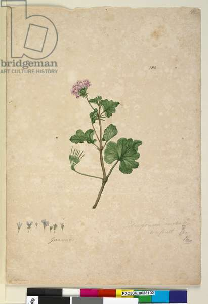 Page 102. Pelargonium australe, c.1803-06 (w/c, pen, ink and pencil)