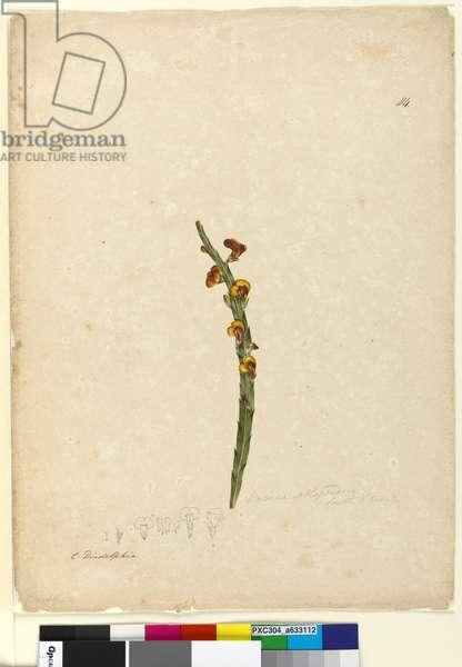 Page 114. Bossiaea scolopendria, c.1803-06 (w/c, pen, ink and pencil)