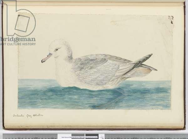 F.42 Antarctic grey albatross, 1772-75 (w/c)