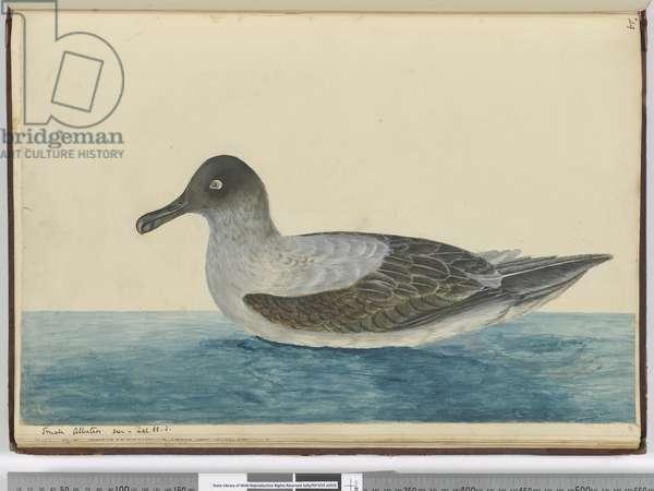 F.49 Small albatross seen in lat. 65 S., 1772-75 (w/c)