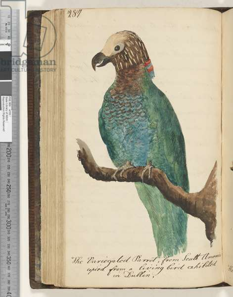 Page 287. The Variegated Parrot, from South America, copied from a living bird exhibited in Dublin,, 1810-17 (w/c & manuscript text)