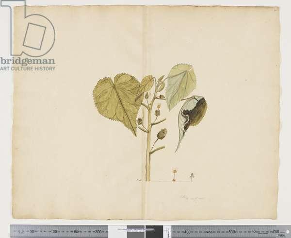 F.30 Abutilon julianae, c.1790-95 (w/c & ink on paper)