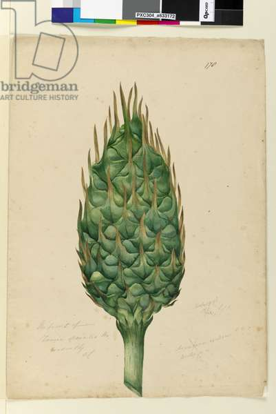 Page 178. The fruit of Zamia spiralis, c.1803-06 (w/c, pen, ink and pencil)