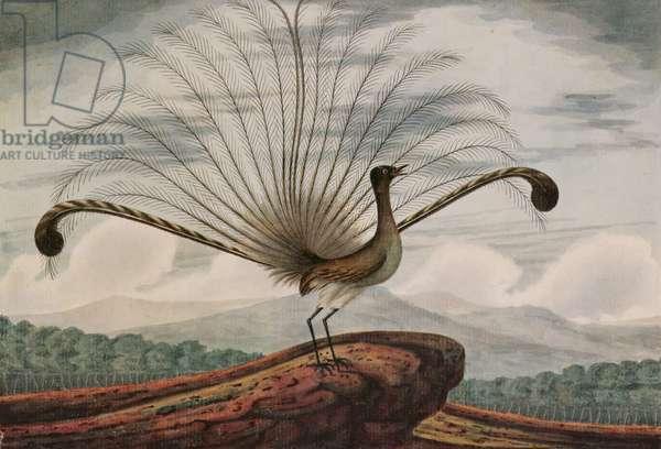 Lyrebird: mamura superba, 1813 (w/c)